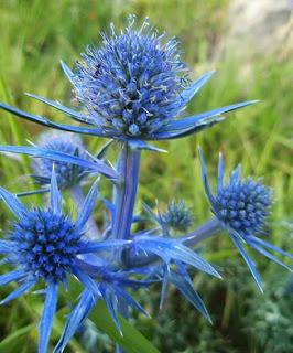 Cardo azul (Eryngium bougartii)