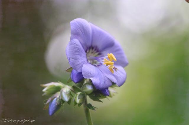 Polemonium Bressingham Purple