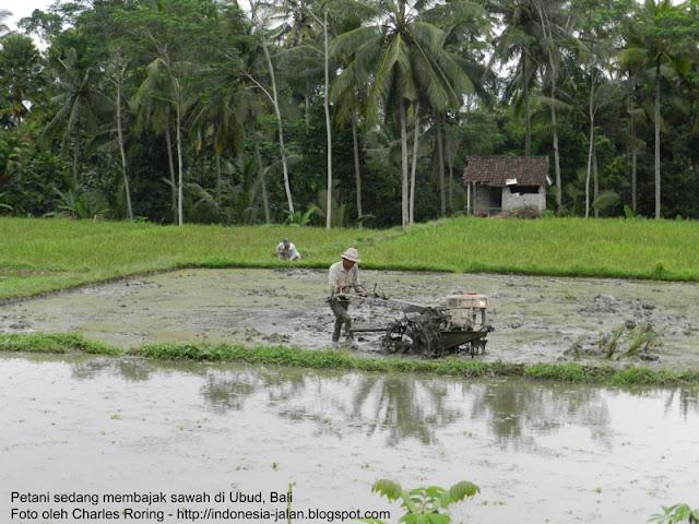 Petani sedang membajak sawah di Ubud Bali