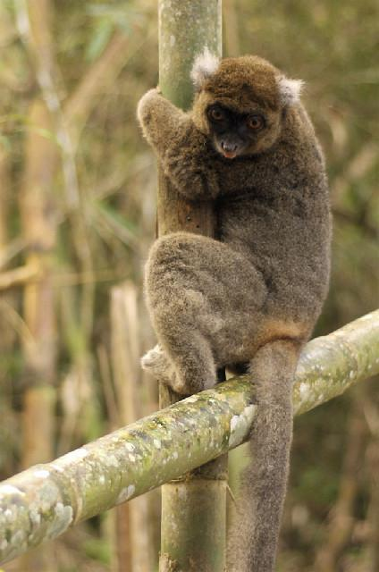 Endangered Primate Species Greater Bamboo Lemur