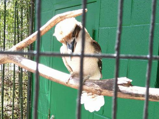 See a real Kookaburra Kentucky things to do with kids