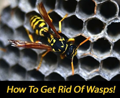 how to get rid of wasp