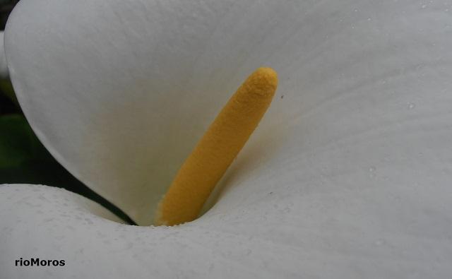 Flor de CALA Zantedeschia aethiopica