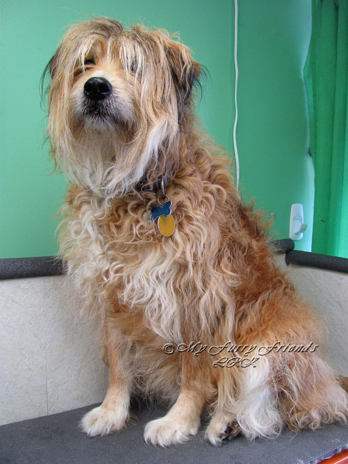 Terrier Haircuts : terrier, haircuts, Grooming:, Good,, Furry:, Terrier