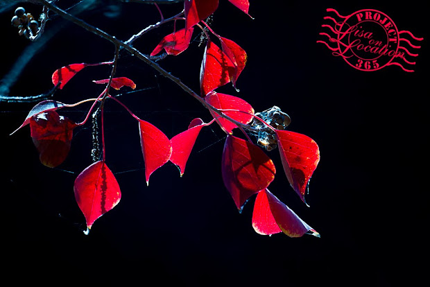 365 photo challenge, Lisa On Location photography, New Braunfels, Texas. Autumn. Red leaves
