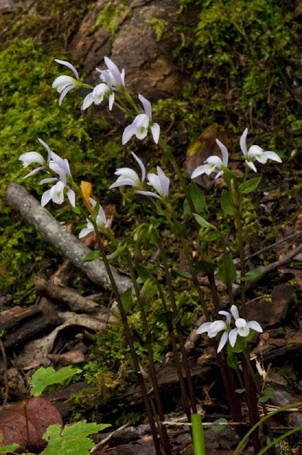 Threebirds-orchid.jpg