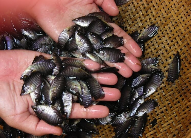 Harga Bibit Ikan Gurame Terbaru Untuk Budidaya
