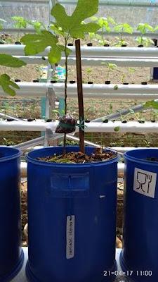 petani tin karawang