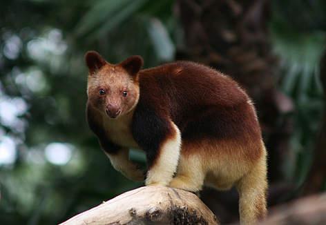 Hasil gambar untuk Kanguru Pohon Wondiwoi