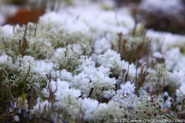 Lichens type Cladonia portentosa  givrés dans les Trois Pignons