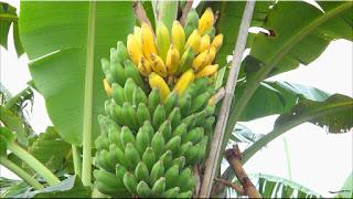 gambar buah pisang kepok
