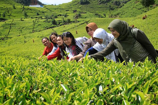 Hamparan kebun teh di Situ Patenggang