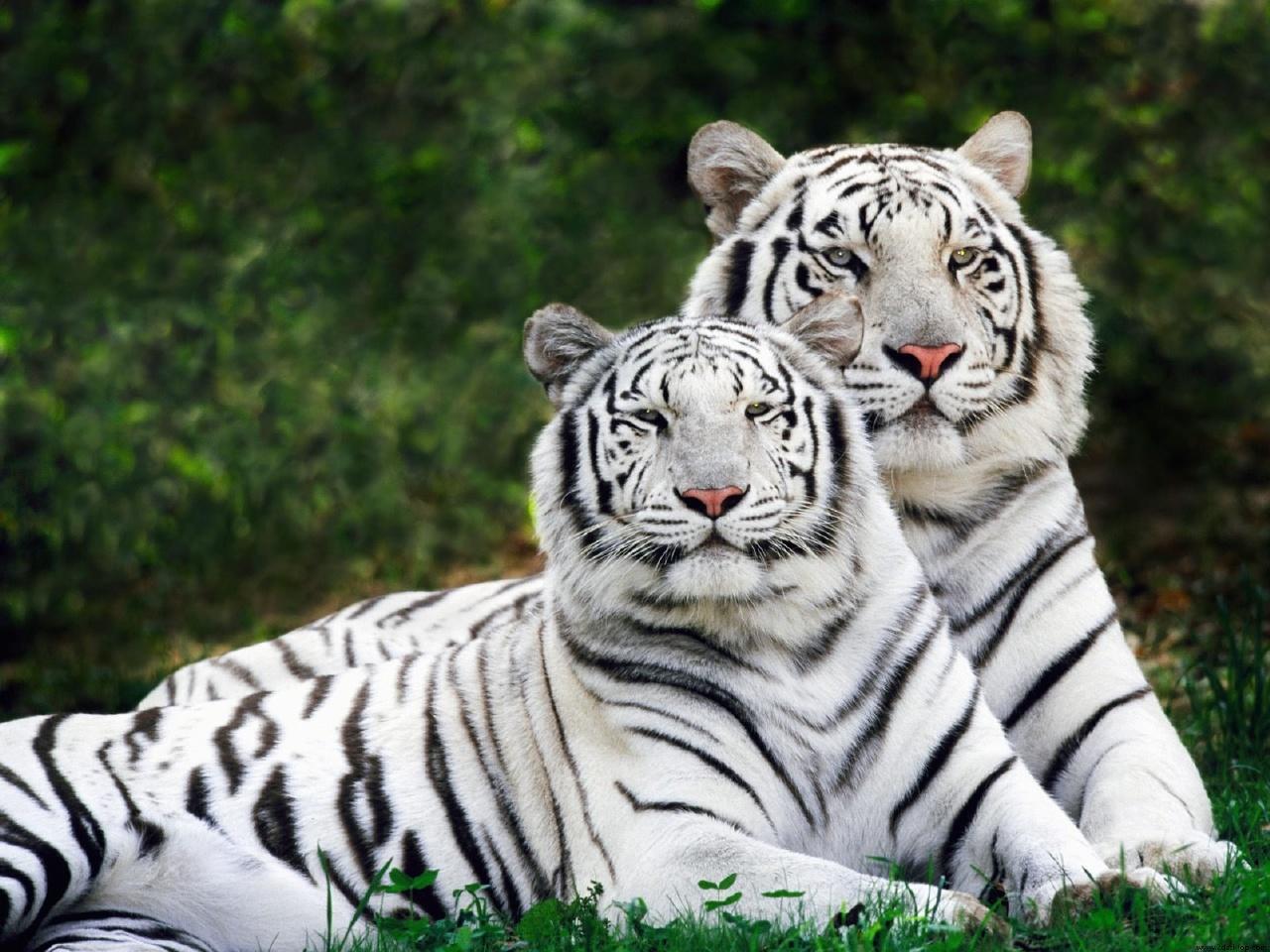 Tigre Branco Voce Realmente Sabia