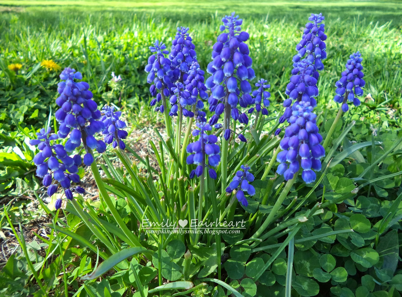 A group of Grape Hyacinths