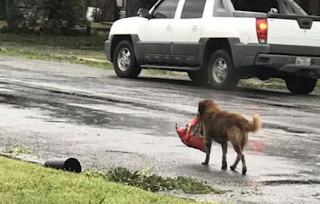 Dog carrying bag of food after Hurricane Harvey becomes viral hero