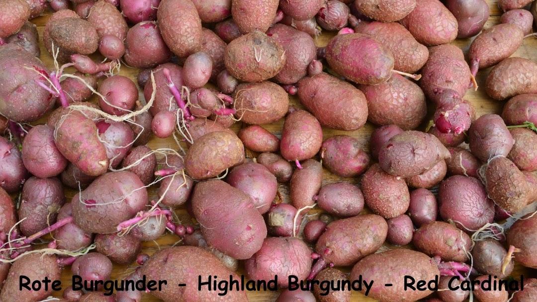 Kleiner Gemüsekönig Rotfleischige Kartoffeln