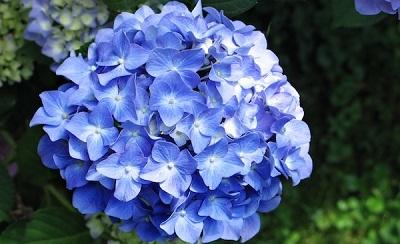 cientfico hydrangea deriva de dos vocablos griegos y y se refiere a la forma de las cpsulas que contienen las semillas