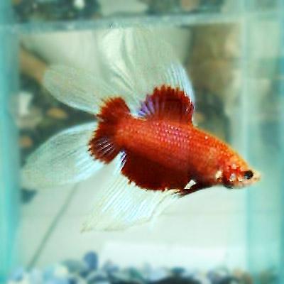Tips Ternak Ikan Cupang Betta Fish