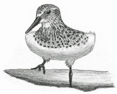 Baird's Sandpiper drawing by Greg Gillson.