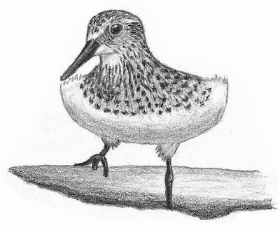 Baird's Sandpiper drawing by Greg Gillson.