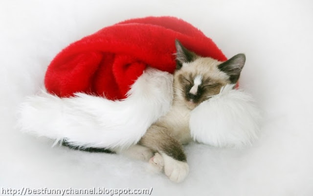 Sleeping Christmas cat.