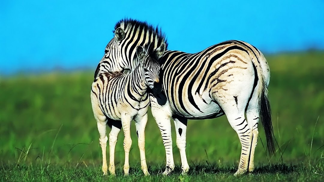 Zebra HD Wallpaper 6