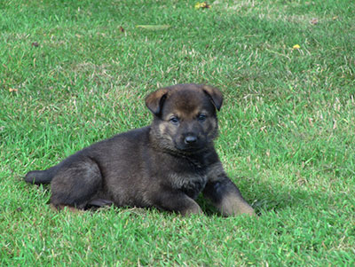 Argo the German Shepherd puppy taking it easy lying down on the grass but head up.