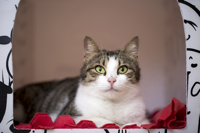 Enrichment is important for shelters cats, like this cat lying down in her box