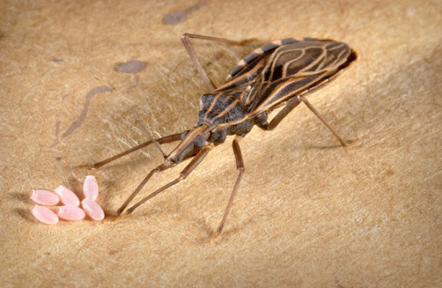 The Kissing Bug Sounds Romantic, But Wait Until You See What It Can Do!