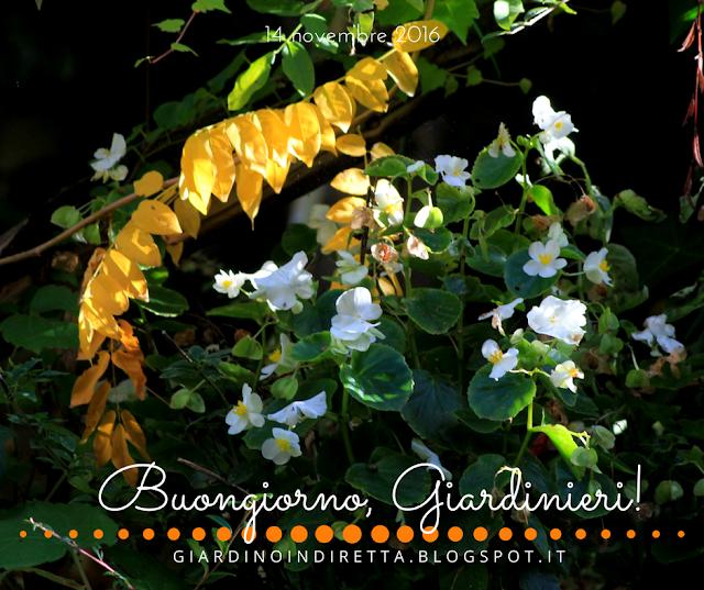 begonia semperflorens - l'agenda del giardino e del giardiniere - un giardino in diretta
