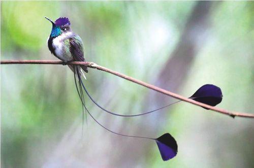 Eles se destacas por ter a cauda com apenas quatro penas. E, no macho, as penas das extremidades são bastante alongadas e terminam em um disco azul .