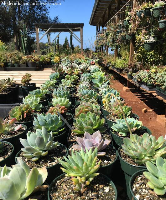 Succulents at Rainbow Acres Maui