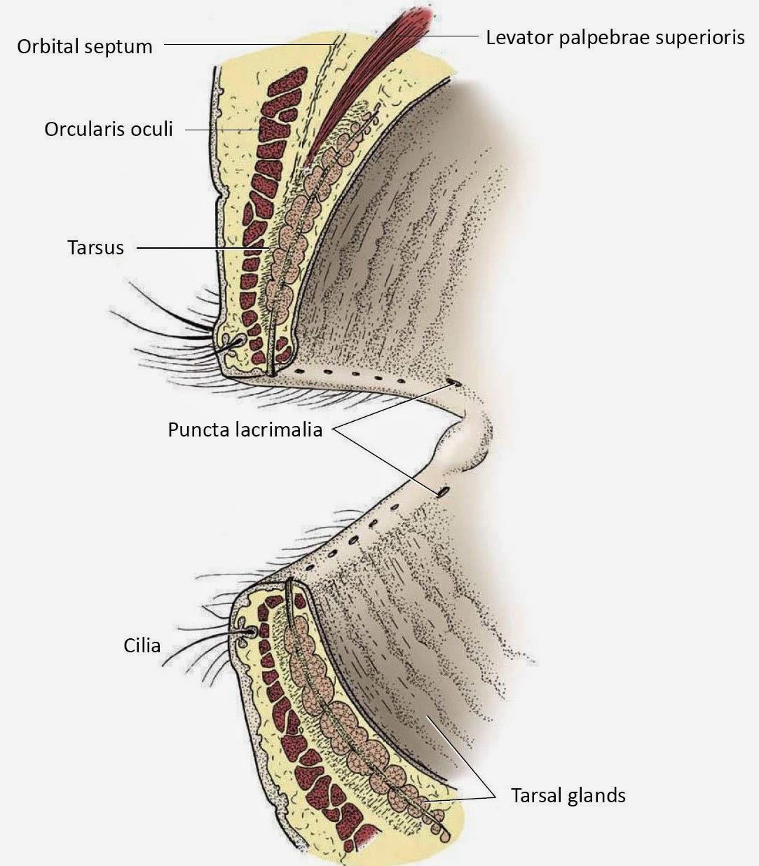 eye opener anatomy ocular adnexa