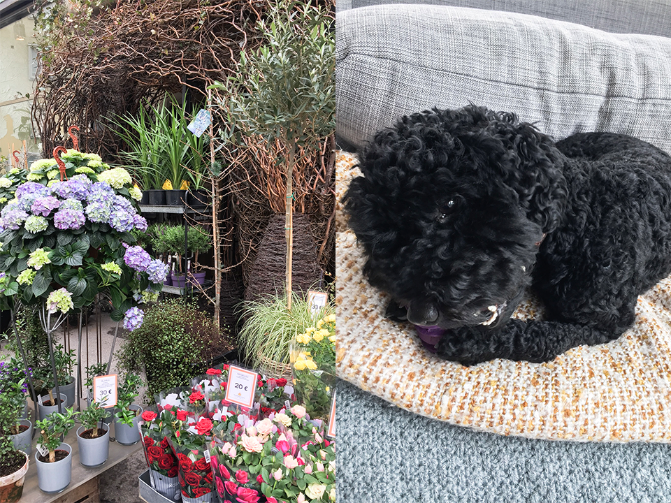 flowershop-helsinki-black-mini-poodle-dog