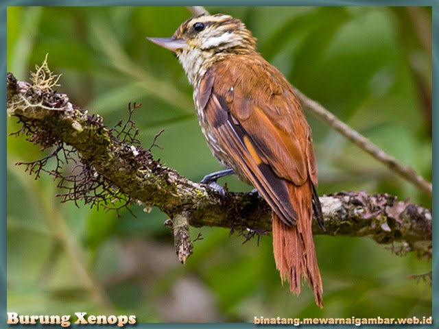 Gambar Burung Xenops