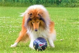 犬(コリー)写真