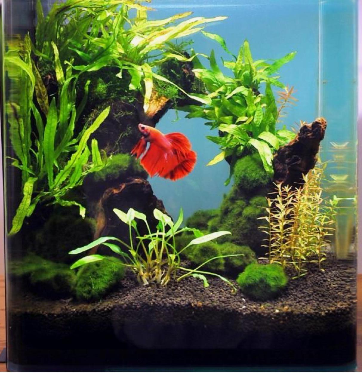 nuôi cá betta trong hồ thủy sinh mini