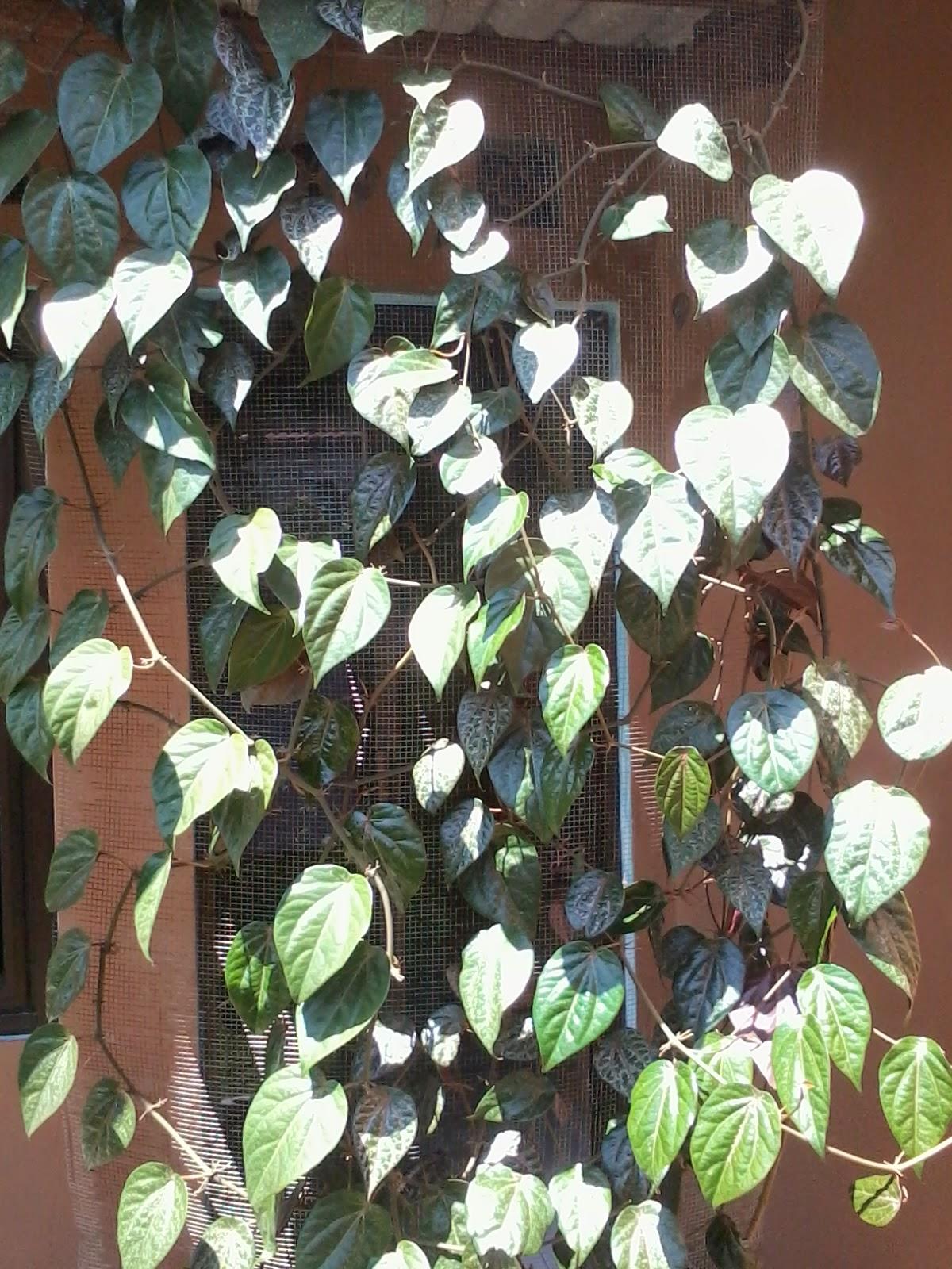 2014-04-20+12.49.49 Khasiat Daun Sirih Merah manfaat daun sirih hepatitis ginjal daun sirih merah daun sirih asam urat ambeien