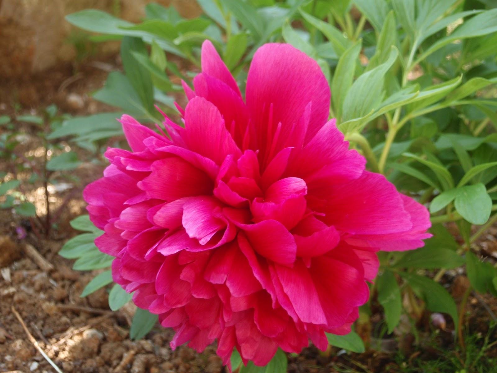 Color en el jard n todo el a o plantas que florecen en mayo - Plantas de exterior resistentes todo el ano ...