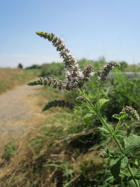 Hoa Bạc Hà châu Âu - Mentha piperita - Nguyên liệu làm thuốc Chữa Cảm Sốt