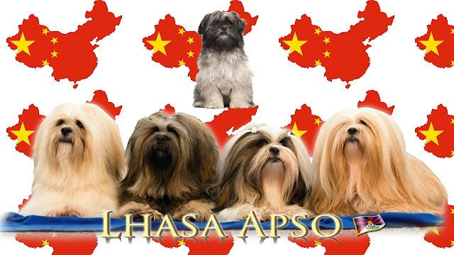Lhasa Apso raza china de perro