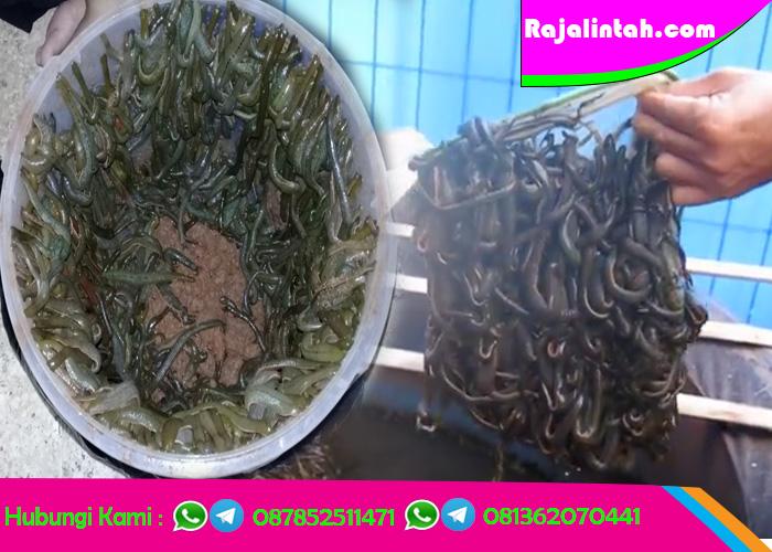 RajaLintah.com Jaul Lintah Terapi | Lintah Hidup | Terapi Lintah | Minyak Lintah | Lintah