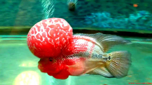 Gambar Ikan Luohan Juara Kontes Tahun 2014