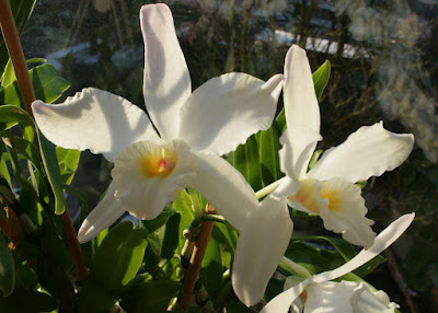 Dendrobium infundibulum care and culture