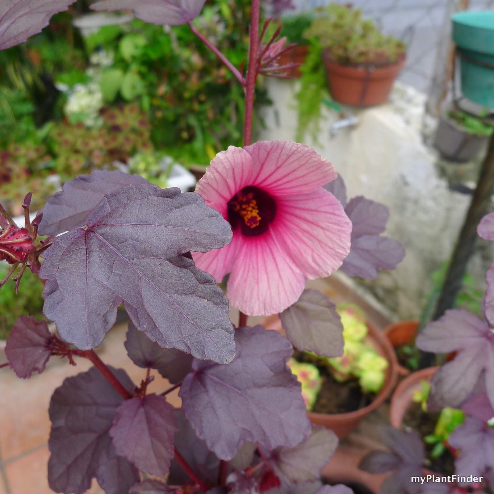 Hibiscus Care: Plant Guide: Hibiscus Acetosella