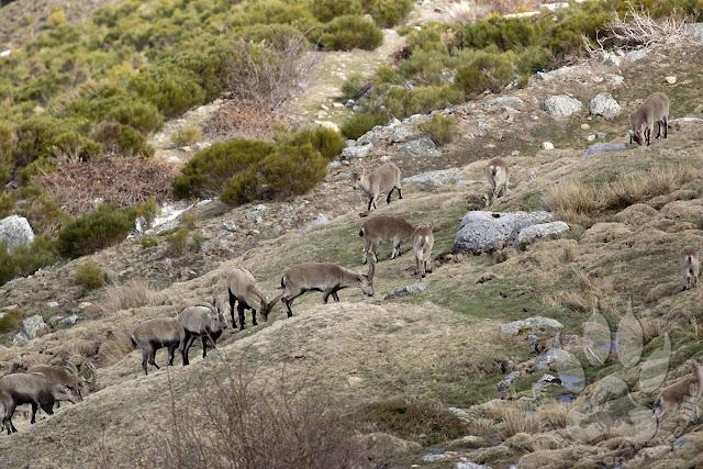Espagne-Sierra-Guadarrama-bouquetins-iberiques-troupeau