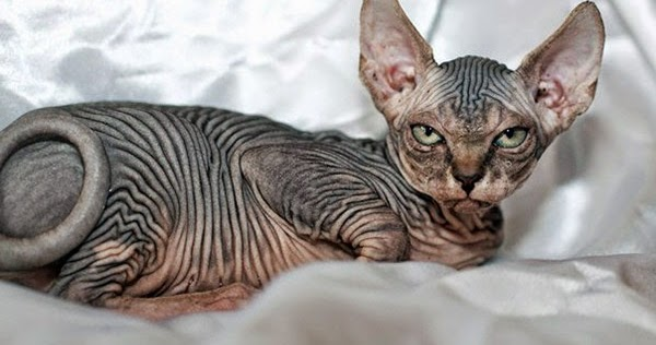 Gin And Bare It Hairless Cat