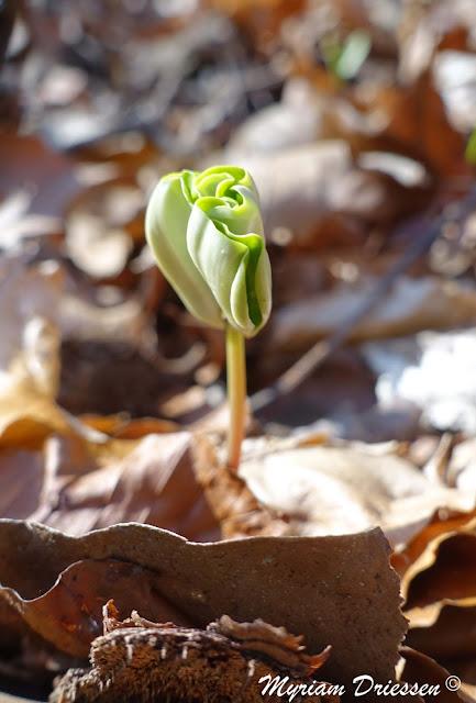 jeune plantule de hêtre Montagne Noire Tarn