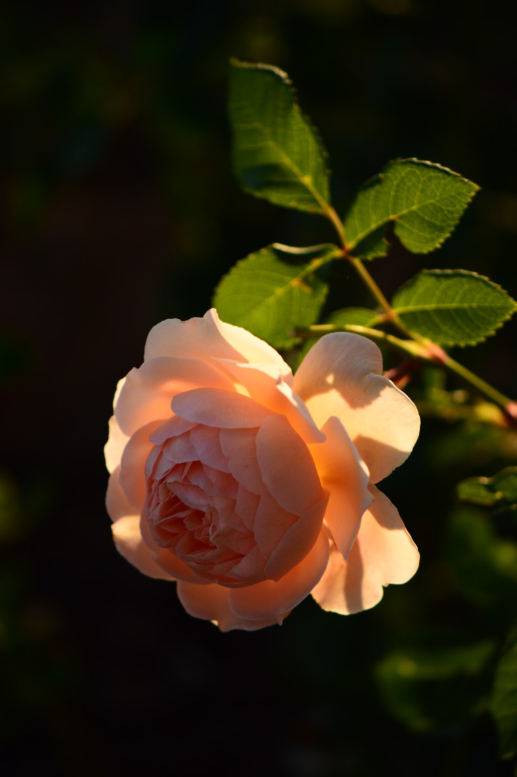 "Rose ""Crown Princess Margareta"", David Austin Rose, English Rose"
