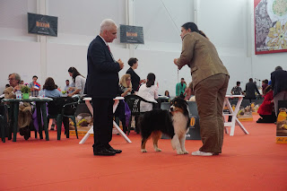 australian shepherd in dog show